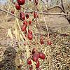 纯天然新疆若羌县灰枣,纯天然不打农药不用化肥