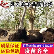 贵州鸵鸟苗-凯里鸵鸟苗-都匀养鸵鸟-六盘水鸵鸟肉