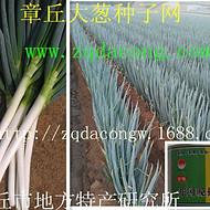 日本铁杆大葱种 新品种井冈一本 晚抽 天光长宝日本钢葱种子