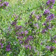 2018年紫花苜蓿种子最新报价