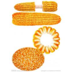 大量收购玉米大米碎米,高粱,淀粉