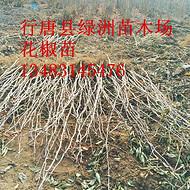 河北省花椒苗基地批发大红袍花椒苗