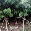 供银桦树,耐寒新品种,适合四川、云南、广西、广东、福建