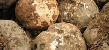 魔芋提取物 葡甘聚糖90-95% 减肥