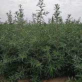 2018年沙棘树苗大量批发 甘肃沙棘苗种植基地