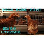 青年鸡|青年鸡批发|青年鸡厂家直销