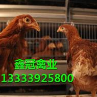青年鸡养殖厂|青年鸡报价|优质青年鸡