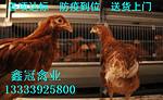 青年鸡|青年鸡价格|青年鸡厂家|青年鸡养殖场