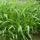 墨西哥玉米草种子价格