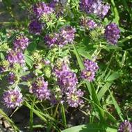 紫花苜蓿种子牧草用途