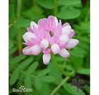小冠花种子价格一般多少钱