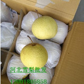 找货装货就到河北赵县皇冠梨,雪梨,水晶梨正宗商家质量有保证
