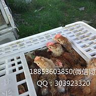 自锁扣式加大加厚运输筐 蛋鸡运输筐 *