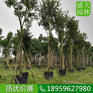 浙江12公分黄花风铃木袋苗,浙江黄花风铃木移植苗基地