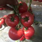 黄山西红柿苗 番茄种苗量大从优 常年出售