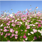 江苏粉红色波斯菊新产种子价格,原产地发货用于园林绿化