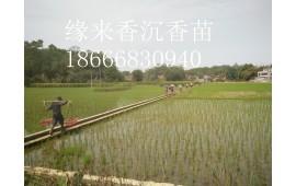 2018-04-18缘来香沉香基地装车现场 (118播放)