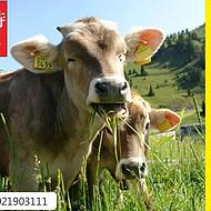 犊牛吃什么饲料长得快?利斯特4%犊快长