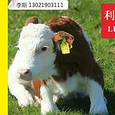 小牛吃什么饲料长架子?利斯特4%犊快长可以迅速长骨拉架