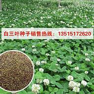 白三叶种子价格 白三叶种子购销点
