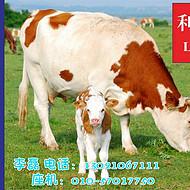 西门塔尔种母牛饲料 西门塔尔种母牛预混料 利斯特-母牛宝