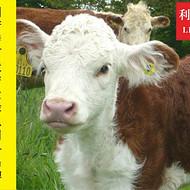 小牛犊不长个怎么办?小牛犊不长肉怎么办?小牛犊用什么预混料?