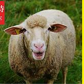 羊驼吃什么东西?羊驼应该怎么喂?利斯特羊驼专用预混料