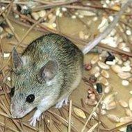高密诸城抓老鼠服务 防鼠灭鼠捕鼠克星专业公司