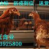 青年鸡养殖基地|青年鸡批发|河南青年鸡