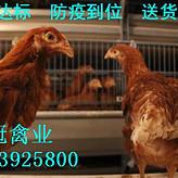 青年鸡养殖基地 青年鸡批发 河南青年鸡