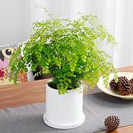 武汉铁线蕨盆栽小型室内植物基地,武汉同城吸甲醛铁线蕨送货上门
