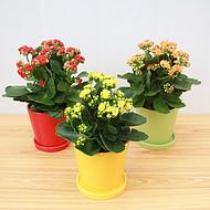 武汉小型植物长寿花盆栽,发财树虎皮兰绿萝盆栽市场省内物流发货