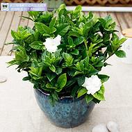武汉小型绿植带花朵的栀子花盆栽,芳香素雅的栀子花盆景送货上门