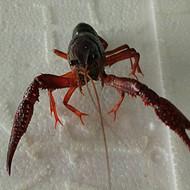 固安小龙虾批发,固安小龙虾,固安水产批发,固安冷冻食品