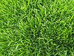 绿化草皮多少钱一平米?