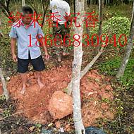 供应沉香树6-20公分沉香绿化树风景树假植苗袋装苗缘来香产业园