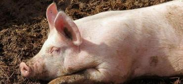 常见的十种生猪腹泻性传染病的鉴别与诊断