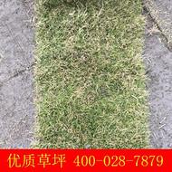 供应四川成都 重庆 台湾二号草坪 草皮卷