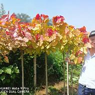 2M高的树苗出售、城市绿化优选,冠红杨