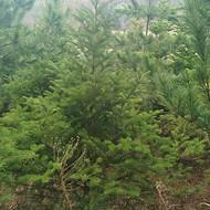 东北冷杉苗 辽宁冷杉基地 冷杉苗价格 冷杉绿化树