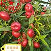 南北方桃树苗  早熟桃子种苗 中油系列油桃成苗基地 瑞康苗木供应 中桃系列桃树