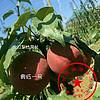 梨树苗什么时候种植 2018梨树苗新品种 奥红一号 夏玉 早酥红梨 夏玉成品苗