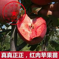 红肉苹果怎么样 0.8公分红色之爱苹果苗 批发优质红肉苹果苗基地