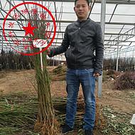 北京玉妃桃苗种苗 玉妃桃苗哪里有 批发玉妃桃苗成苗