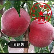 2018桃树苗新品种 早熟桃苗春丽(93)桃