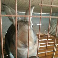 北京优质种兔出售、比利时野兔、养殖兔子前景