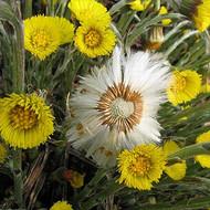 产地直销款冬花种子(种根、种苗),款冬花种植技术
