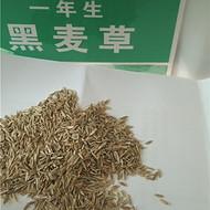 黑麦草种子牧草种子价格