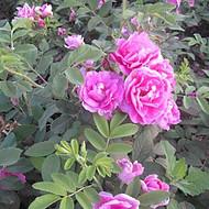 四季玫瑰,河北四季玫瑰价格,河北四季玫瑰批发基地
