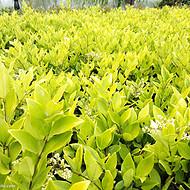 冬季草花种类,四季常青草花,耐寒的草花种类,茗茜抗冻草花基地